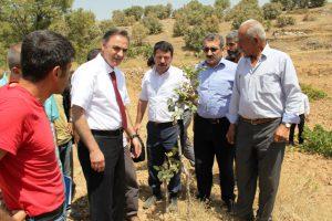 Midyat'ta Siirt  fıstığı aşılama  çalışmaları