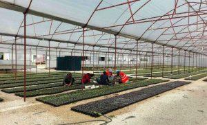 Büyükşehir belediyesi 481 bin bitki üretti