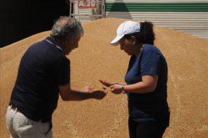Buğday Çiftçinin Elinde Kaldı