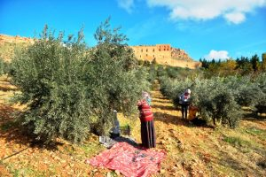 Tarihi manastır bahçesinde zeytin hasadı