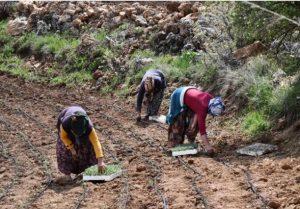 Kadınlar Ada Çayı yetiştirecek