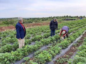 Çilek çiftçilerin yeni  geçim kaynağı oldu