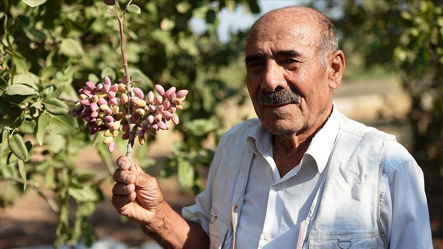 İlk fidanın yarım asır önce dikildiği köyde 500 ton fıstık rekoltesi bekleniyor
