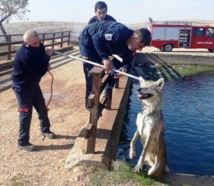 Sulama kanalına düşen kurt, kurtarıldı