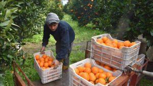 Portakal Satış İhalesi