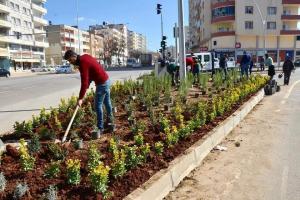 Midyat Belediyesi Orta  Refüj Yeşillendirme  Çalışmaları sürüyor